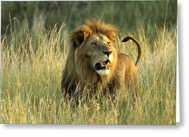 King Of The Savanna Greeting Card
