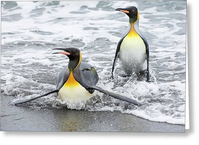 King Penguins Emerge From A Fishing Trip Greeting Card