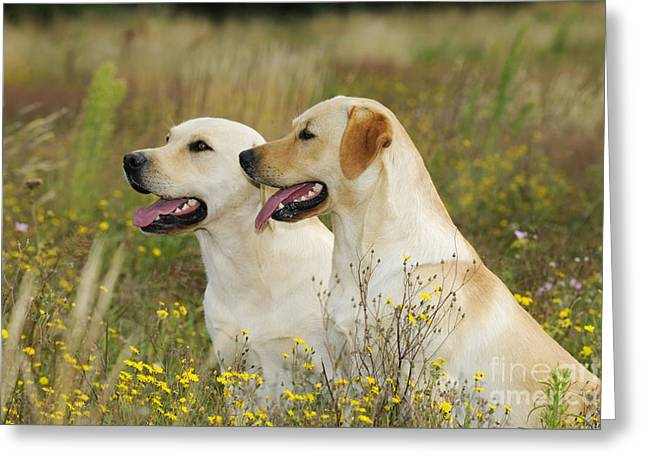 Labrador Retriever Dogs Greeting Card by John Daniels