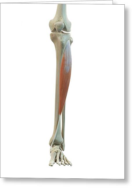 Leg Muscle Greeting Card