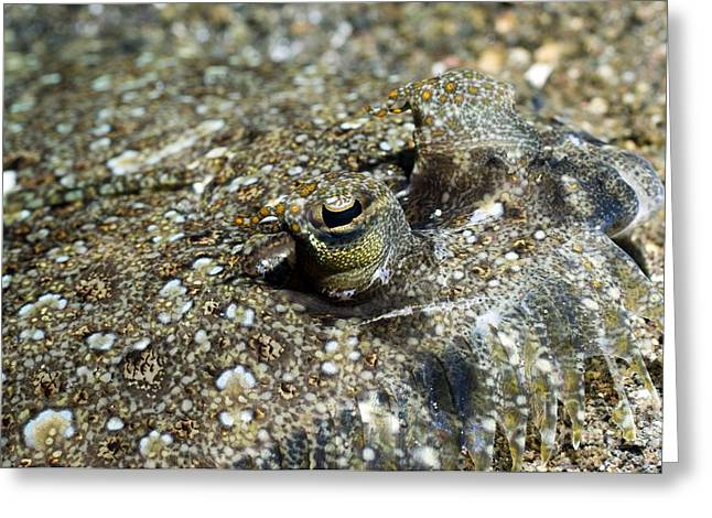 Leopard Flounder In Sand Greeting Card by Georgette Douwma