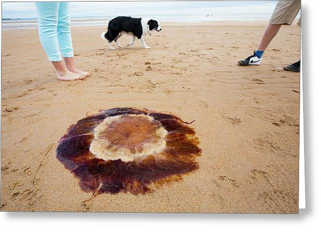 Lions Mane Jellyfish Greeting Card by Ashley Cooper
