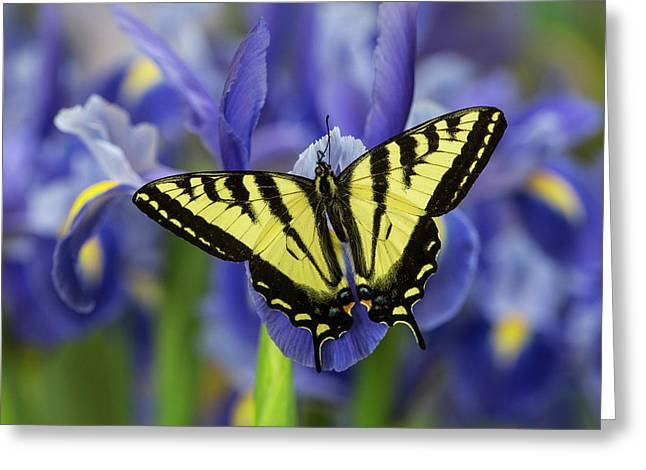 Male Western Tiger Swallowtail Greeting Card