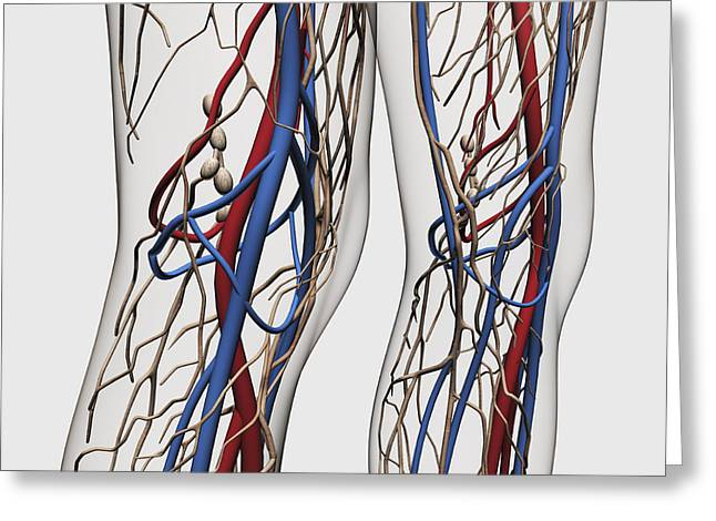 Medical Illustration Of Arteries, Veins Greeting Card by Stocktrek Images