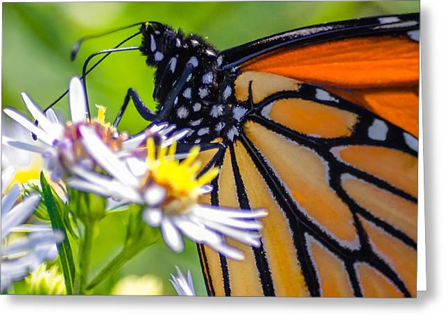 Monarch Butterfly Greeting Card by Brian Stevens