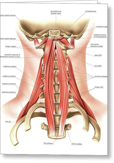 Muscles Of The Neck Greeting Card by Asklepios Medical Atlas