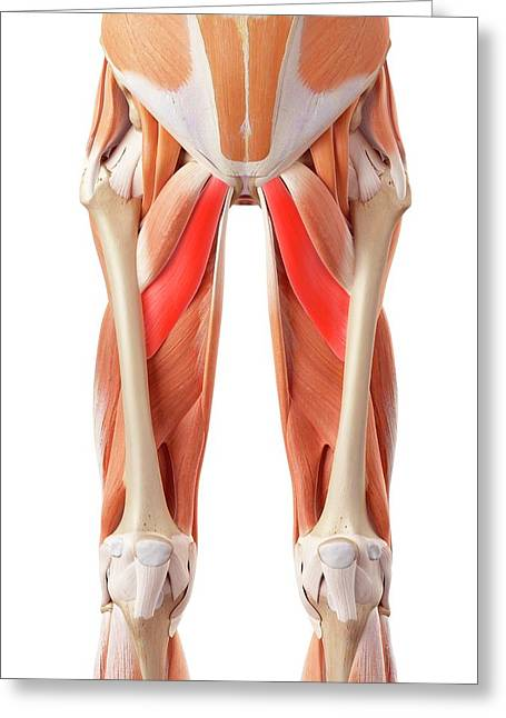 Muscular System Of Legs Greeting Card by Sebastian Kaulitzki/science Photo Library