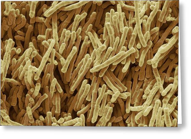Mycobacterium Smegmatis Bacteria Greeting Card