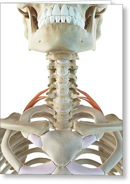Neck Muscles Greeting Card by Sciepro