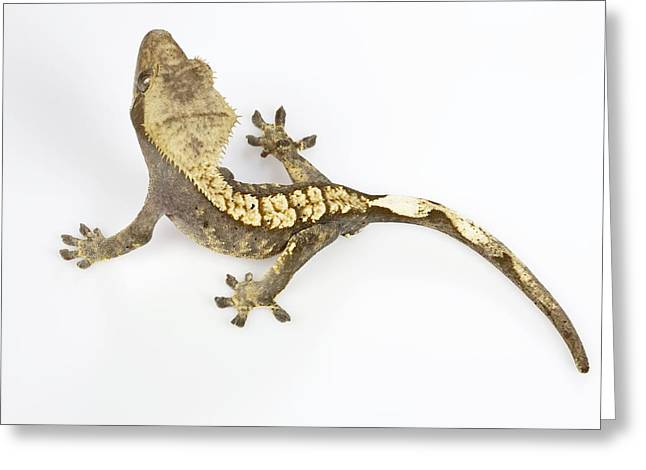 Gecko Greeting Cards Page 8 Of 33 Fine Art America
