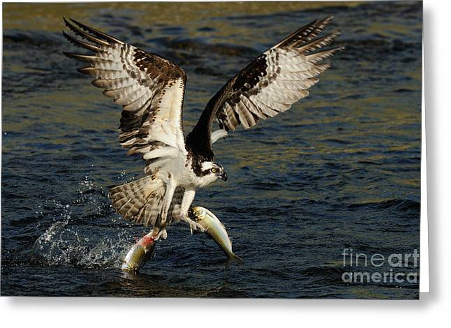Osprey Catching Trout Greeting Card