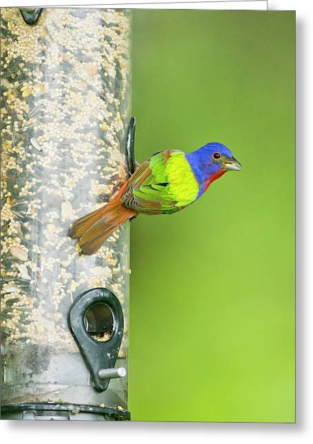 Painted Bunting (passerina Ciris Greeting Card by Larry Ditto