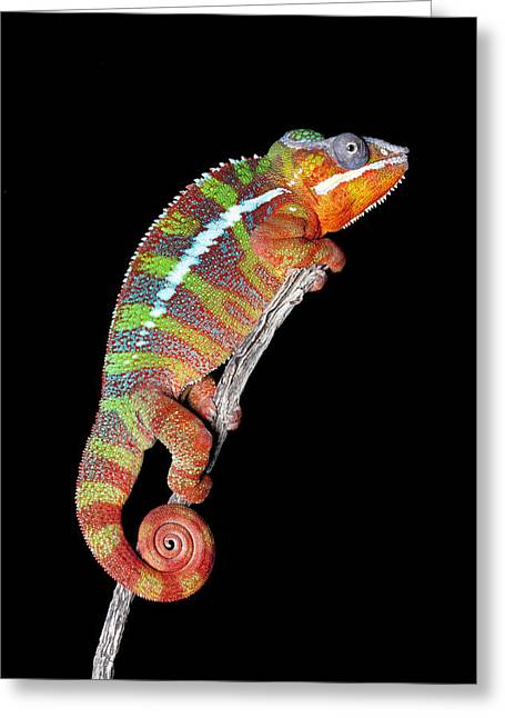 Panther Chameleon Greeting Card by Robert Jensen