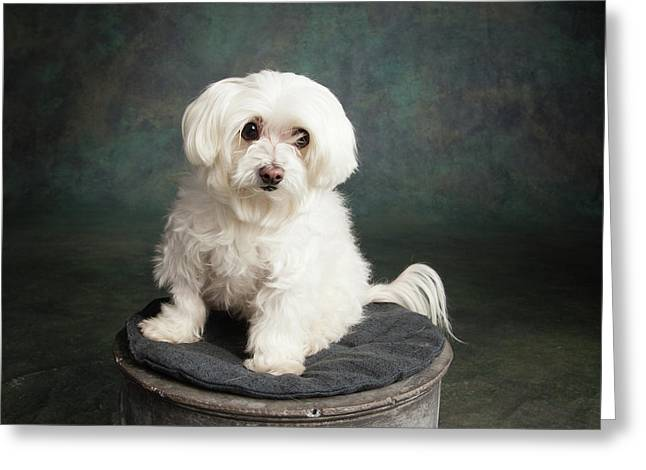 Portrait Of A Maltese Dog Greeting Card