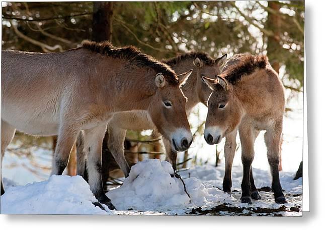 Przewalski's Horse Or Takhi (equus Greeting Card