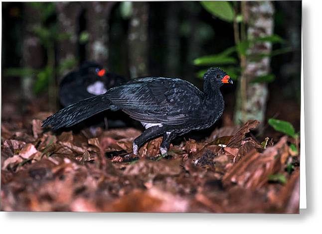 Red-billed Curassow Crax Blumenbachii Greeting Card