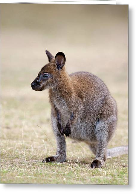 Red-necked Wallaby, Subspecies Greeting Card by Martin Zwick