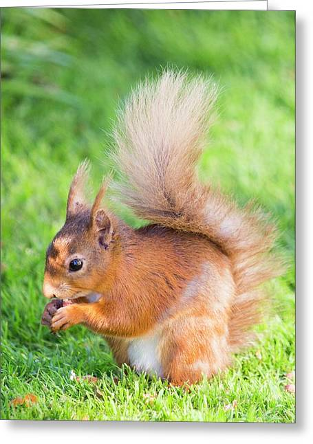 Red Squirrel At Haweswater Greeting Card
