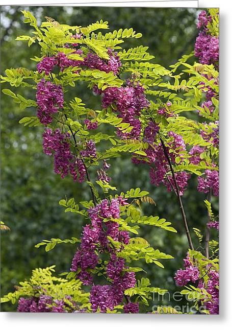 Rose Acacia Robinia Hispida Greeting Card by Bob Gibbons