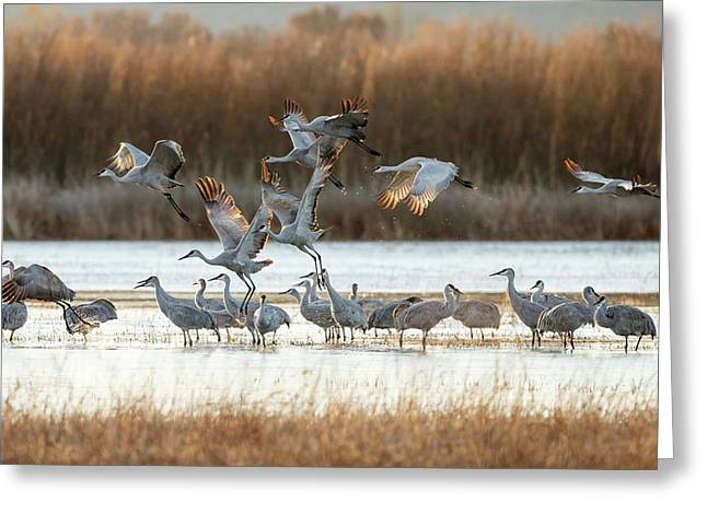 Sandhill Cranes Flying, Grus Greeting Card by Maresa Pryor