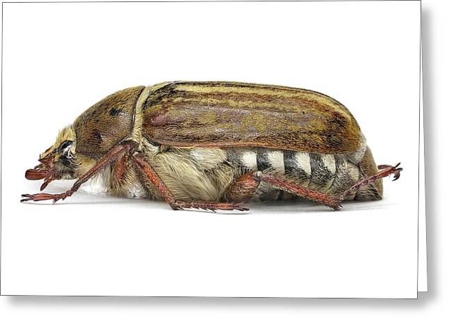 Scarab Beetle Greeting Card by F. Martinez Clavel