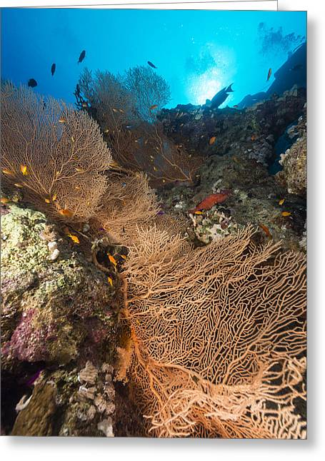 Sea Fan And Tropical Reef In The Red Sea. Greeting Card by Stephan Kerkhofs