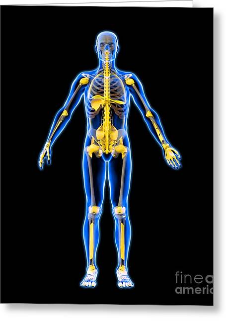 Skeleton And Ligaments, Artwork Greeting Card by Roger Harris