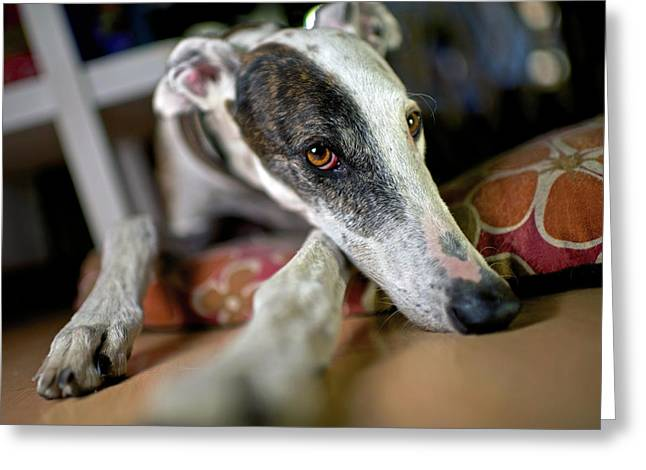 Spanish Greyhound Greeting Card