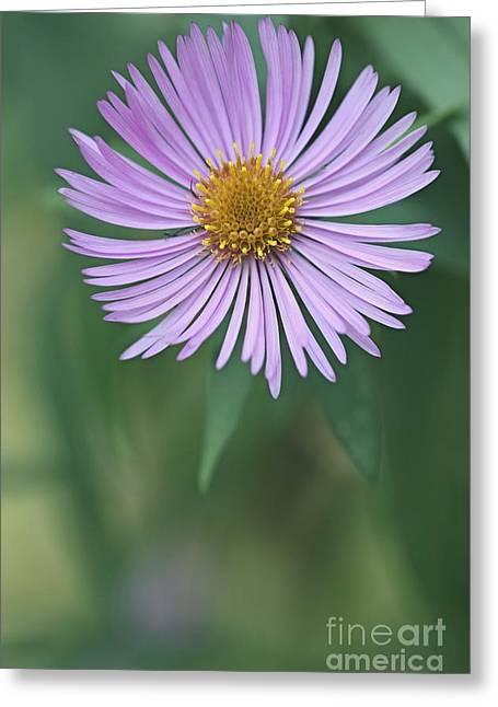 Symphyotrichum Novae-angliae Greeting Card by Dr. Nick Kurzenko