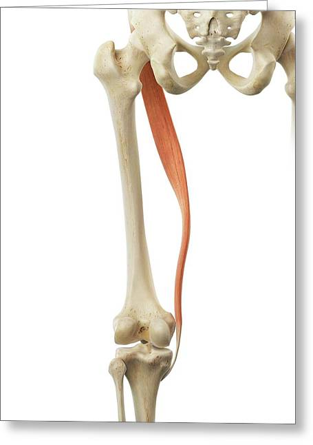 Thigh Muscle Greeting Card