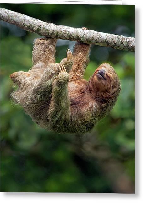 Three-toed Sloth Bradypus Tridactylus Greeting Card