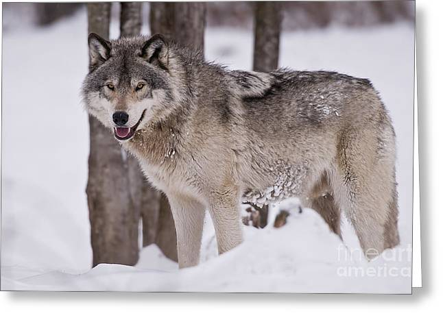 Timber Wolf In Winter Greeting Card by Wolves Only