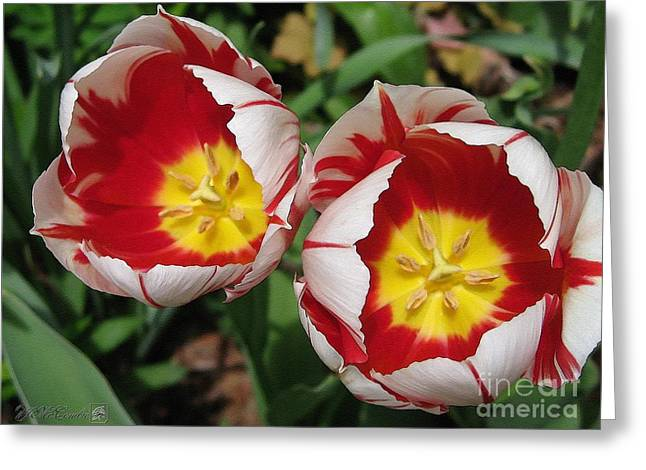 Triumph Tulip Named Carnaval De Rio Greeting Card