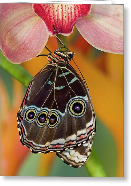 Tropical Butterfly The Blue Morpho Greeting Card