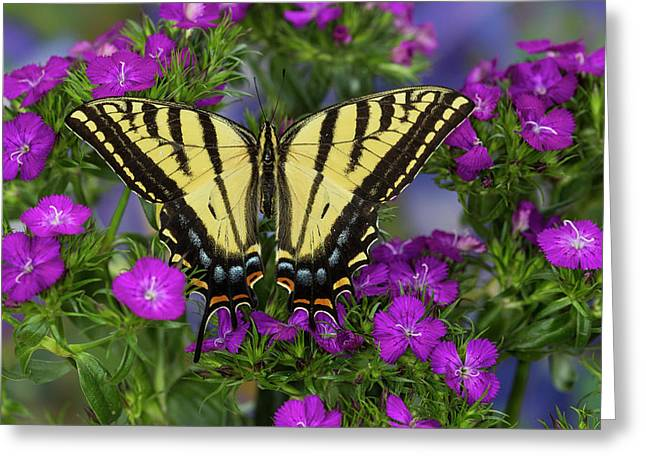 Two-tailed Swallowtail Butterfly Greeting Card by Darrell Gulin