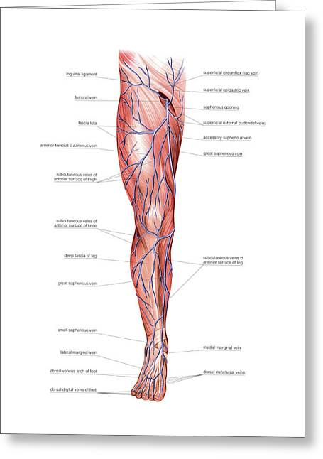 Venous System Of The Lower Limb Greeting Card by Asklepios Medical Atlas