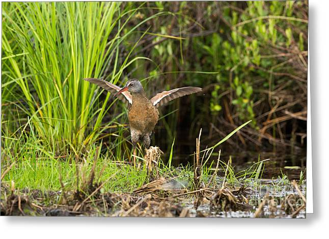 Virginia Rail Rallus Limicola Greeting Card by Linda Freshwaters Arndt