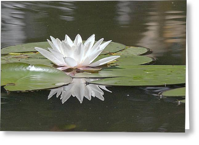 Water Lily Greeting Card by Odon Czintos