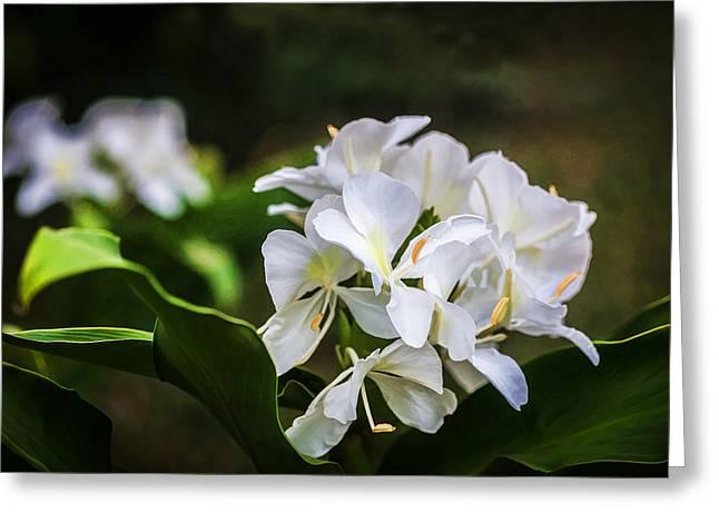 White Ginger Flowers H Coronarium Painted  Greeting Card