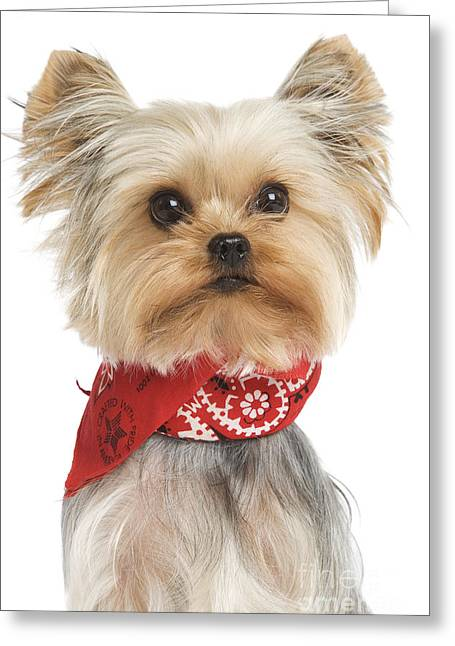Yorkshire Terrier Dog Greeting Card by Jean-Michel Labat