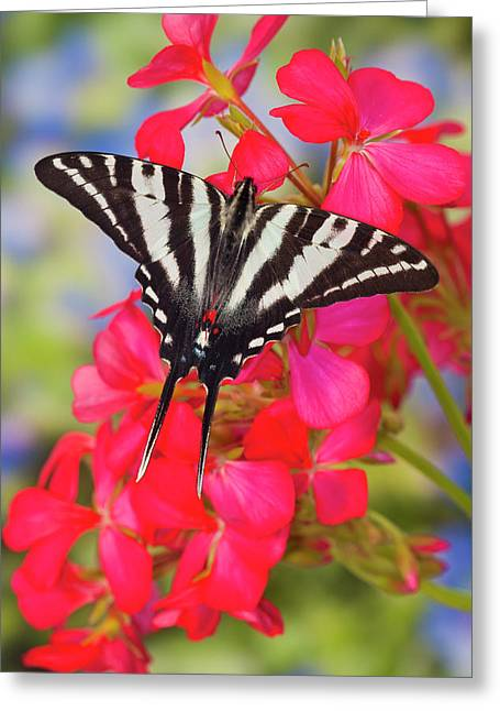 Zebra Swallowtail Butterfly, Eurytides Greeting Card