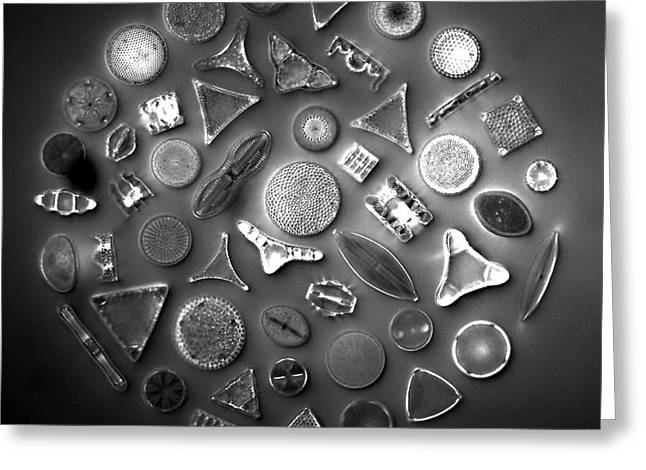 50 Diatom Species Arranged  Greeting Card by Science Source