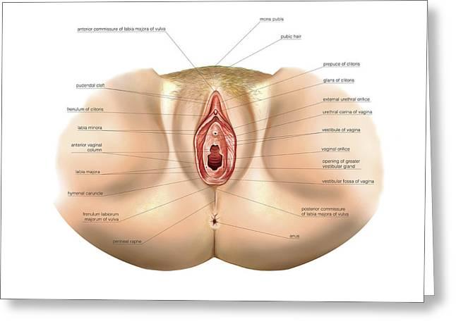 Female Genital System Greeting Card by Asklepios Medical Atlas