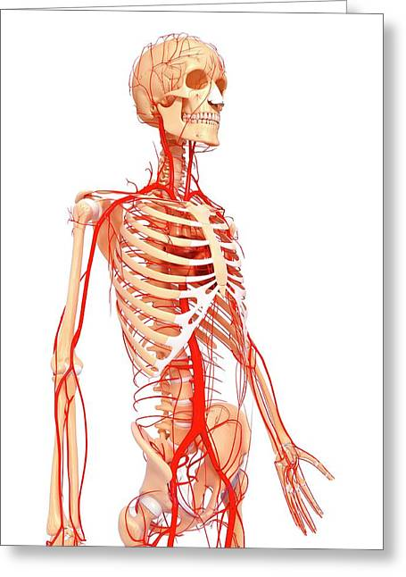 Human Arteries Greeting Card by Pixologicstudio/science Photo Library