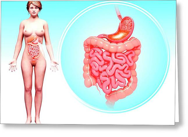 Human Digestive System Greeting Card by Pixologicstudio/science Photo Library