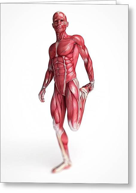 Human Muscular System Greeting Card by Sebastian Kaulitzki
