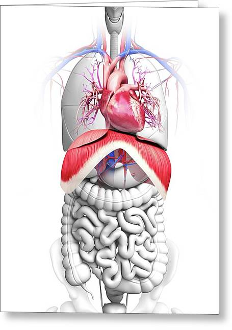 Human Respiratory System Greeting Card by Pixologicstudio