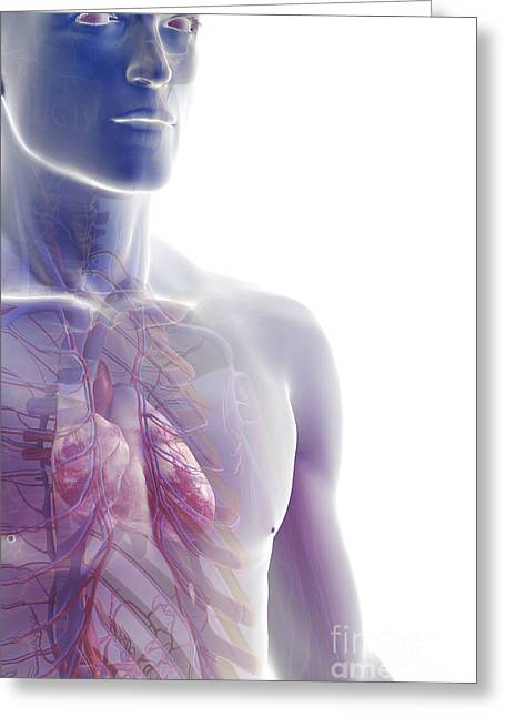 The Cardiovascular System Greeting Card by Science Picture Co