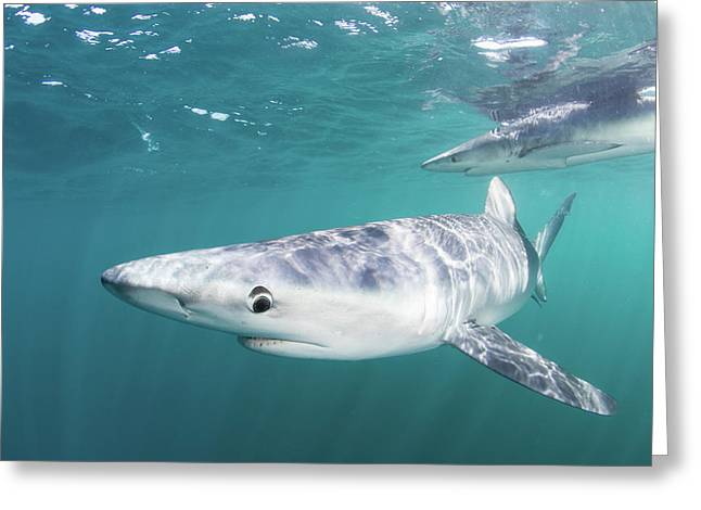 A Sleek Blue Shark Swimming Greeting Card