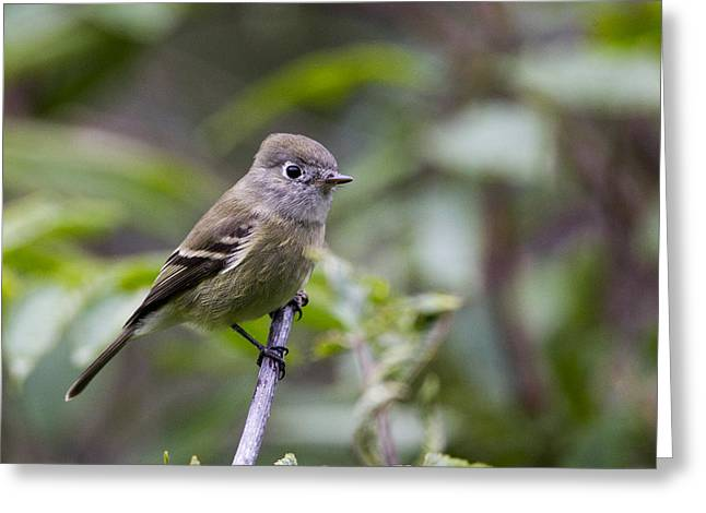 Alder Flycatcher Greeting Card